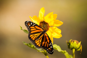 Monarch butterfly in a field on a yellow sunflower.