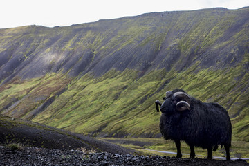 Black Ram In the Westfjord Mountains, Iceland