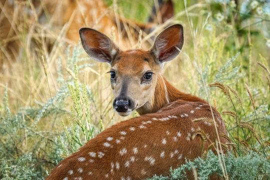 Whitetail Fawn Deer
