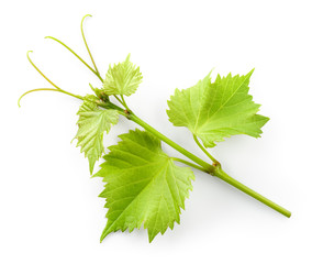 Fototapete - Grape leaves on branch with tendrils isolated on white backgroun