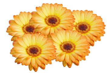 Orange Gerbera flower