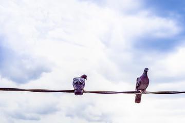 couple pigeon