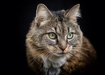 Portrait of Tabby Cat on Black Background
