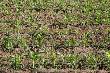 Field of young corn