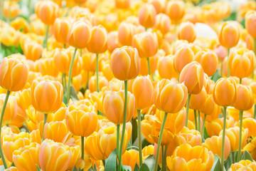 Obraz Tulipany żółte - fototapety do salonu