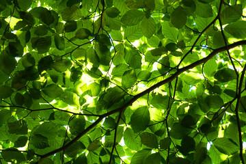 green beech tree leaves