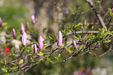 buds on a branch of Magnolia