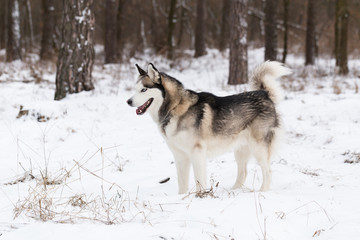 Siberian husky stands in a snowy forest.