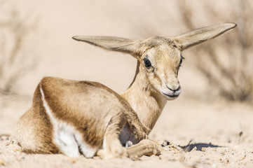 Resting Springbok Lamb