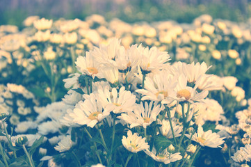 White Chrysanthemum flowers with vintage color tone.