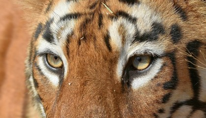 Eyes Of Tigress