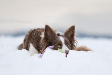 Border Collie liegt im Schnee