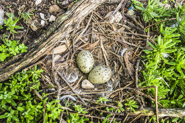 Two speckled brown eggs of a Hartlaubs Gull in its nest