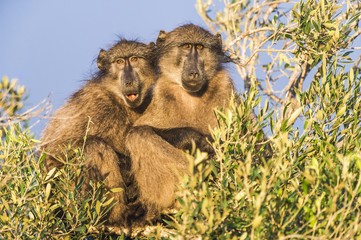 Chacma Baboon sunning in the early morning light
