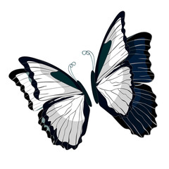 morpho butterfliese butterfly monarch black and white.