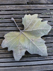 Plane tree leaf covered in frost, lying on a wooden slatted jetty on a cold winter's morning