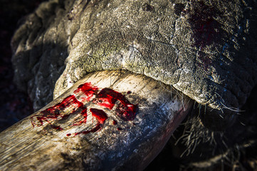 Ivory covered in blood