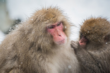 Japanese snow monkey in Jigokudani, Nagano.