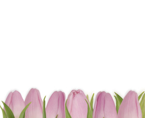 Valentines Day background with pink tulips. Bouquet of tulips isolated on white background. Flowers at border of image with copy space for text.