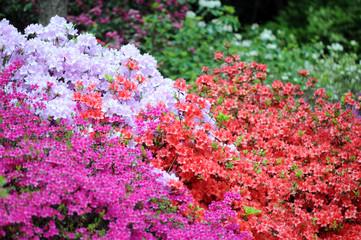 pink azalea bush blossom in springtime