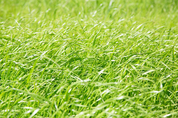 Green grass, for textures or backgrounds