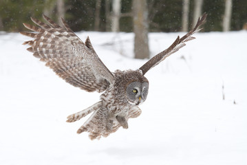 Great grey owl (Strix nebulosa) prepares to pounce on prey in winter in Ottawa, Canada