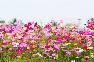 Cosmos Flower field with sky,spring season flowers
