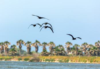 A flock of black ibises in the Maagan Michael kibutz - Israel