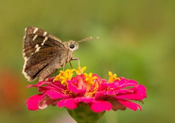 Southern Cloudywing butterfly resting on a hot pink Zinnia flower