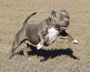 Pitbull jumping and playing at the park