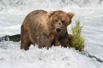 Alaskan brown bear fishing