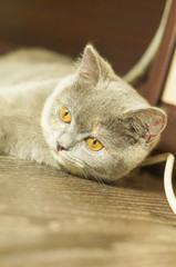 gray cat with yellow eyes head