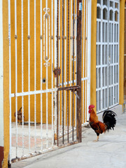 Cockerel standing by iron gate