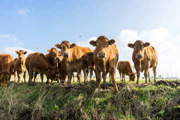 Curious cows looking at the photographer