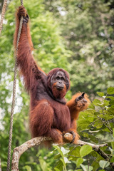 Wild living adult male Orangutan sitting on a branch in Borneo, Malaysia