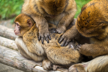 Monkey forest - Grooming