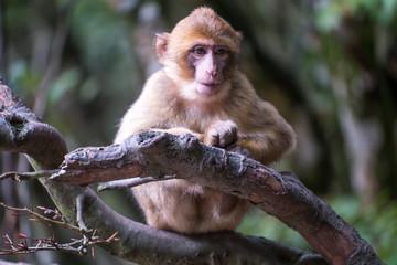 Monkey forest - Grinning infant