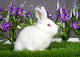 Small albino white bunny with pink eyes sitting in green grass in front of a white picket fence with purple flowers by a gray wall