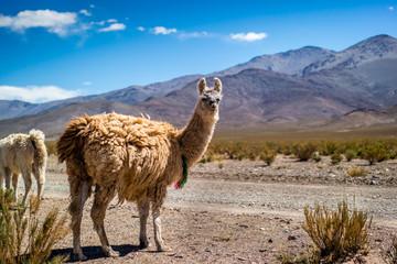 Llama in the desert