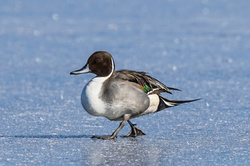 Northern Pintail - Ice