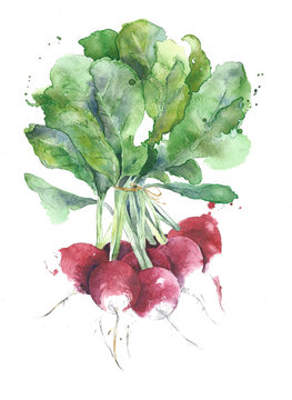 Radishes vegetables watercolor painting illustration isolated on white background