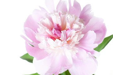 Floral wallpaper. Beautiful pink peony flower