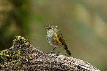 Beautiful Female of, Himalayan Bluetail, Tarssiger rufilatus, Bird standing on the branch showing its front profile in nature of Thailand