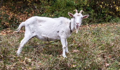 white goat on autumn meadow