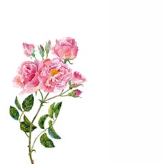 Pink roses.Watercolor.
