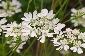 Strahlen-Breitsame, Orlaya grandiflora  - Caucalis grandiflora a white wildflower