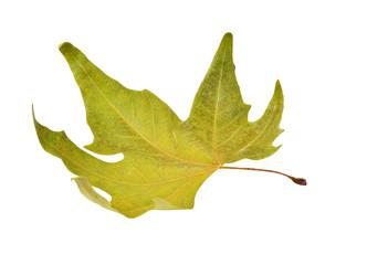 Fall platanus orientalis leaf