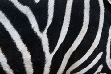 Close-up of stripes on zebra fur