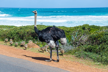 A Wild Ostrich with young chicks at the Cape of Good Hope, a section of Table Mountain National Park, Cape Peninsula, South Africa