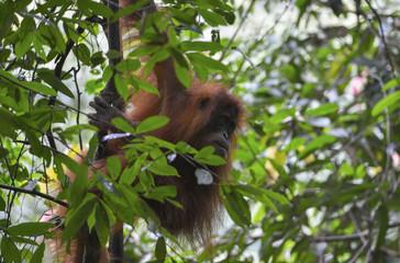 Orangután en la selva de Sumatra, Indonesia